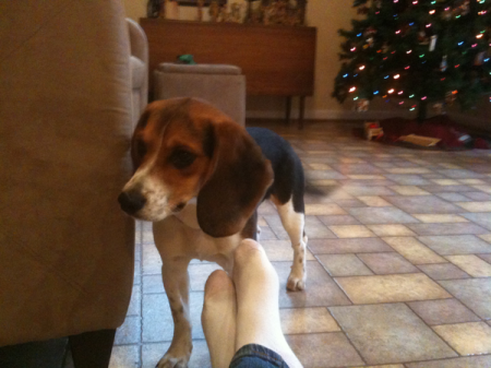 BREW foster beagle Marie